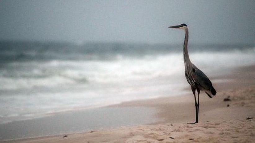 Ölpest: Mutierte Meerestiere beunruhigen Fischer im Golf von Mexiko