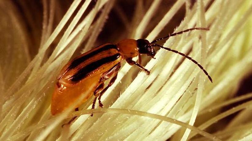 Grüne Gentechnik: Transgener Mais erstmals anfällig für Schädlinge