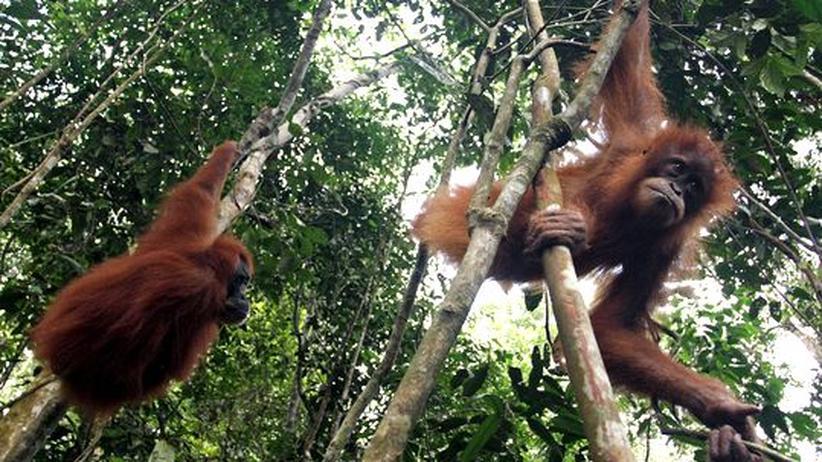 Sumatra: Dutzende Orang-Utans wegen Brandrodung umgekommen