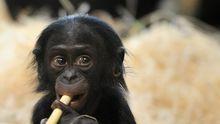 Bonobo Affe Genom