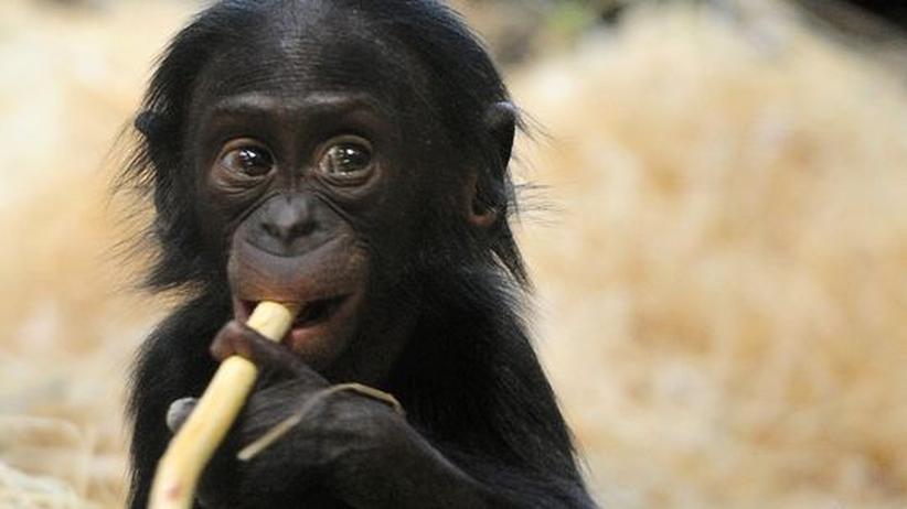 Genomentzifferung: Was den Bonobo unter den Menschenaffen einzigartig macht