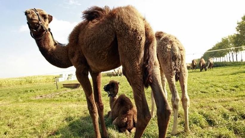 Das unterschätzte Tier: Lasst das Dromedar endlich Kamel sein!
