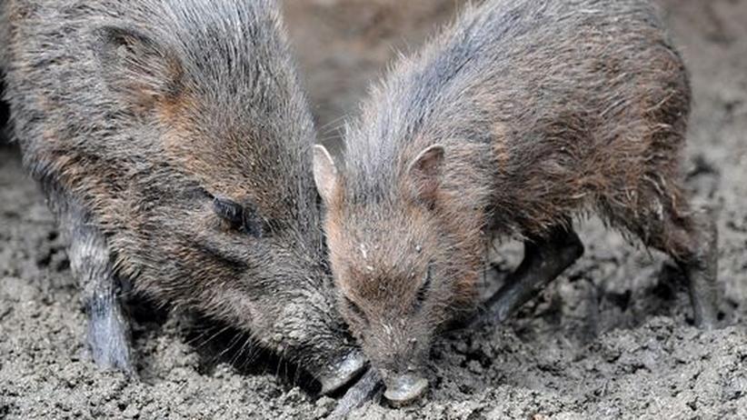 Das unterschätzte Tier: Stöckelschweine wie auf dem Laufsteg