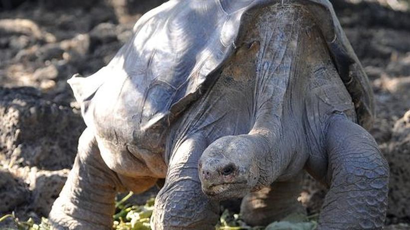 """Riesenschildkröten: """"Mit George ist eine Ikone für den Naturschutz gestorben"""""""
