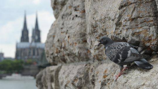 Stadttaube Köln