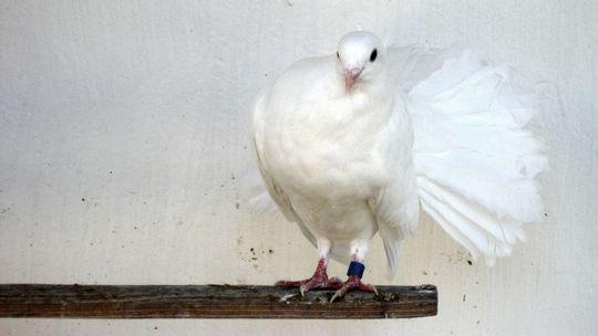 Weiße Taube Ziertaube Zuchttaube