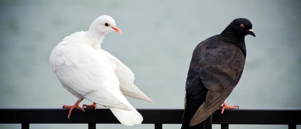 Tauben Vögel Das unterschätzte Tier