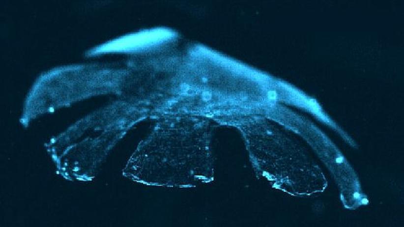 Synthetische Biologie: Qualle mit Rattenherz