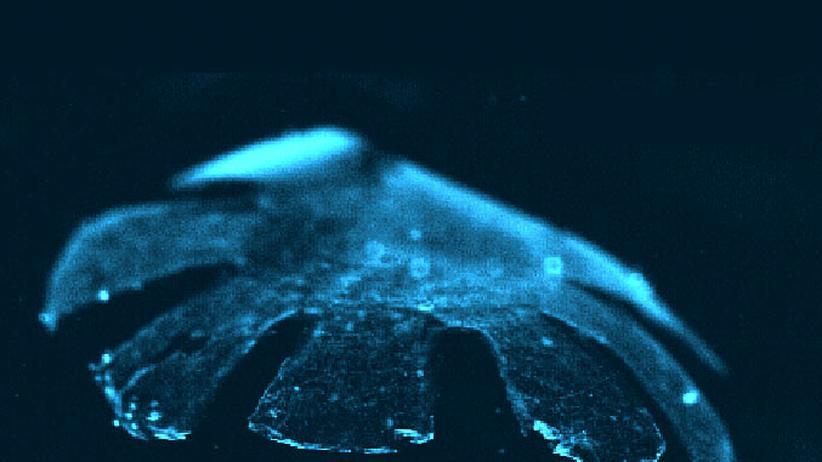 Synthetische Biologie: Cyborg-Qualle mit Rattenherz