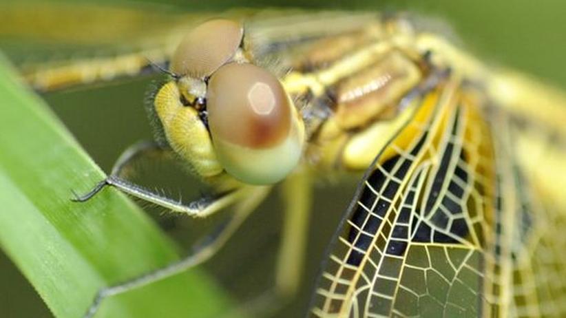 Paläontologie: Frühes Fossil beleuchtet die Evolution der Insekten