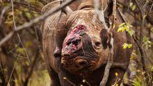 Diesem Spitzmaulnashorn, schnitten Wilderer 2011 den Stumpf seines Horns heraus. Das Horn selbst hatte ein Tierarzt dem Nashorn schon abgenommen, um Wilderer abzuhalten.