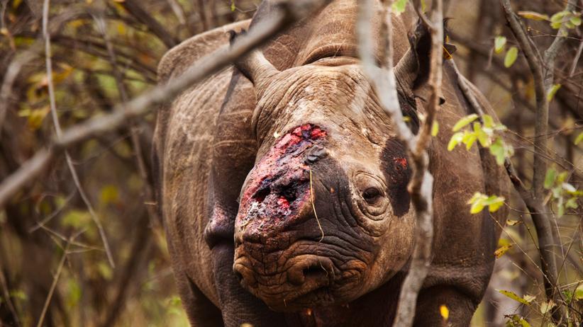 Südafrika: Im Busch läuft ein stilles Massaker an den letzten Nashörnern
