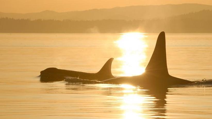 Biologie: Männliche Orcas sind die Muttersöhnchen der Natur
