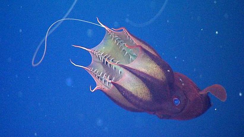 Vampirtintenfische: Lieblingsgericht organische Abfälle