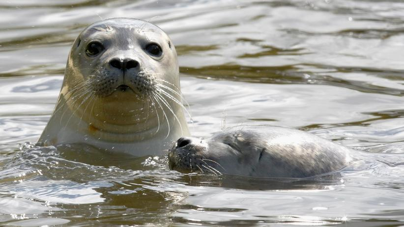Robbenjagd: Seehunde zwischen allen Fronten