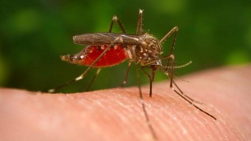 Krankheitsüberträger: Asiatische Buschmücke macht sich in Deutschland breit