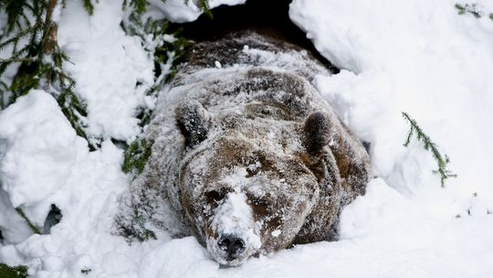 Dieser männlicher Braunbär erwacht in einem Zoo aus dem Winterschlaf.