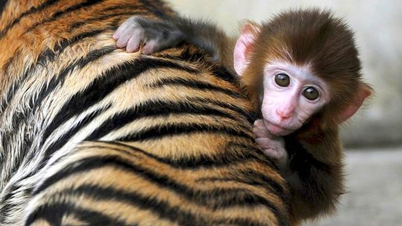 Bremer Makaken: Mitleid mit den Tieren löst das Dilemma nicht