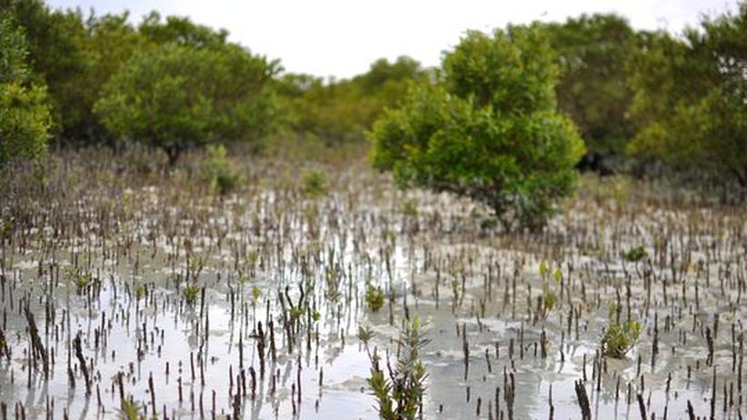 Klimaschutz in Katar: Apps und Sensoren sollen den CO2-Speicher Mangrove retten
