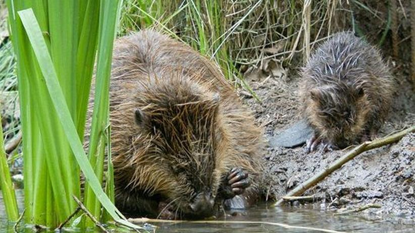 Wildtier-Abschuss: Deutschlands Jagd-Lobby setzt sich schleichend durch