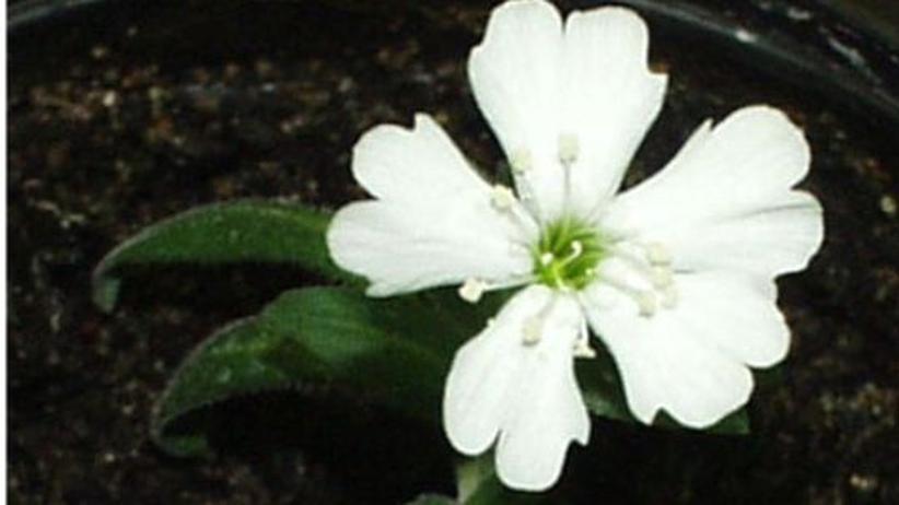 """Botanik: Blüte der Eiszeitpflanze """"Silene stenophylla"""""""