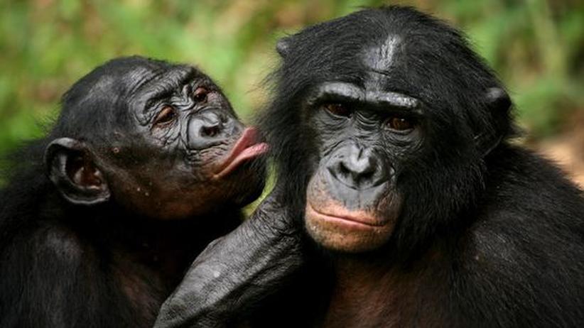 Verhaltensforschung: Bonobos tauschen Futter gegen Kuscheln
