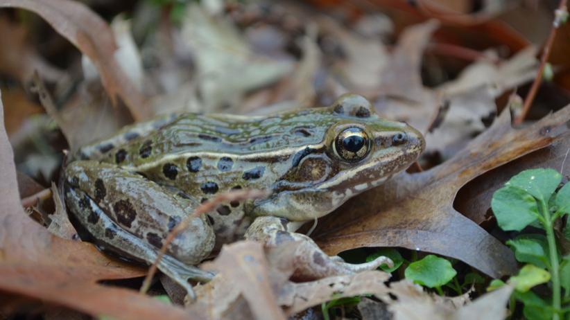 Zoologie: Ein neuer Frosch aus New York