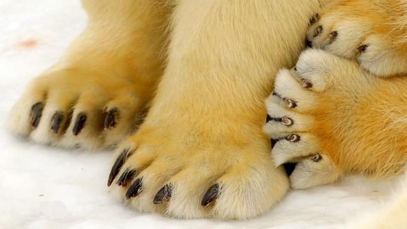 Eisbär Tatzen Ursus maritimus Kanada Nordpol Arktis