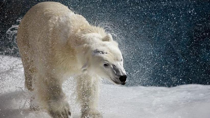 Artenschutz: Der Handel mit Eisbärfellen wird nicht eingeschränkt