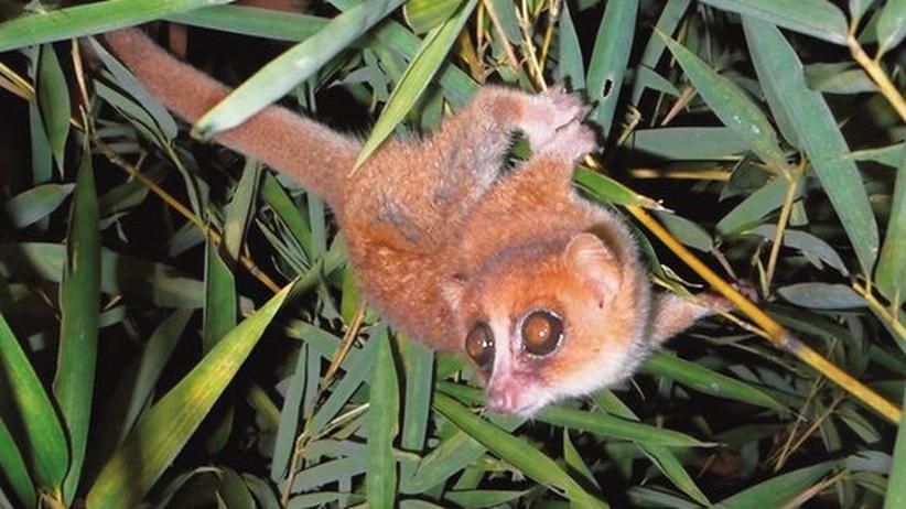 Mausmakis: Neu entdeckte Primaten landen sofort auf roter Liste