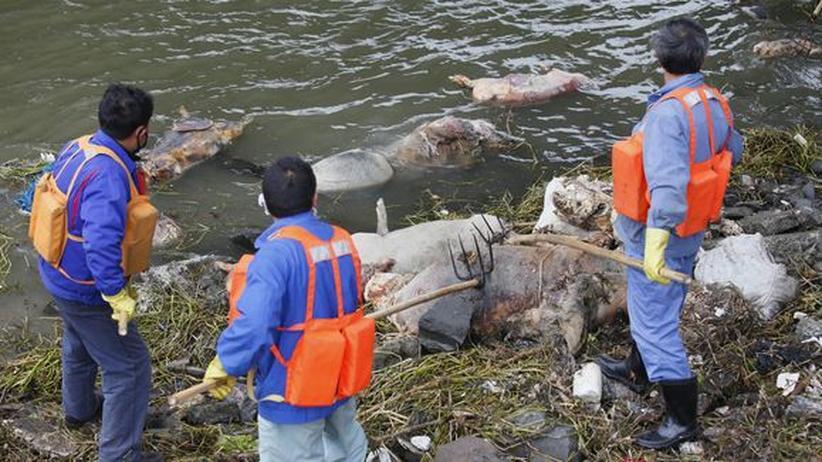 China: Tausende Schweinekadaver in Fluss in Shanghai entdeckt