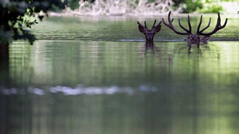 Rehe Hirsche Hochwasser