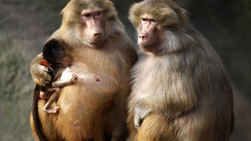 Paviane Hagenbeck Hagenbeck Affen Primaten Zoo