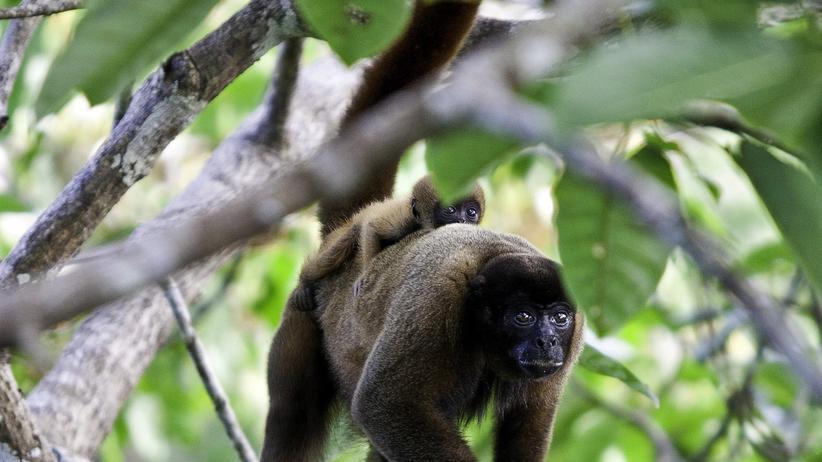 Ecuadors Nationalpark: Der unberührte Yasuní wird zum Ölpark