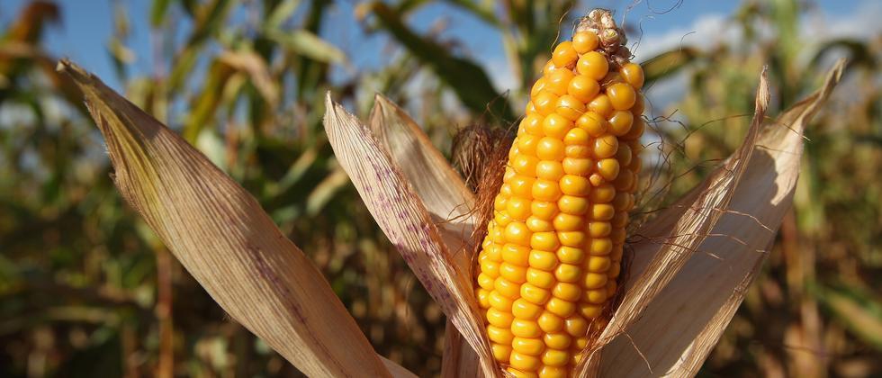 Mais Maiskolben Monsanto Genmais