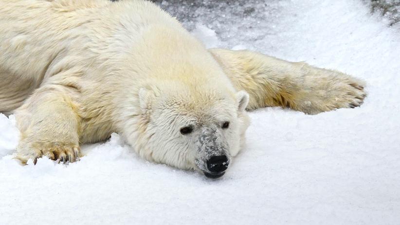 Eisbären: Fit trotz hohem Cholesterinspiegel