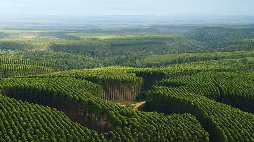 Biotechnologie: Entziffertes Erbgut soll Eukalyptus optimieren