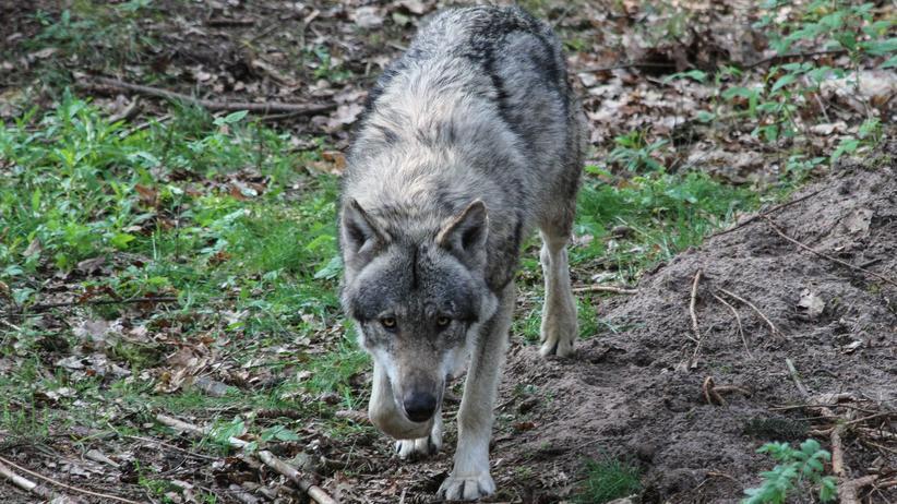 Tierhaltung: Ein Hund im Wolfspelz ist Tierquälerei
