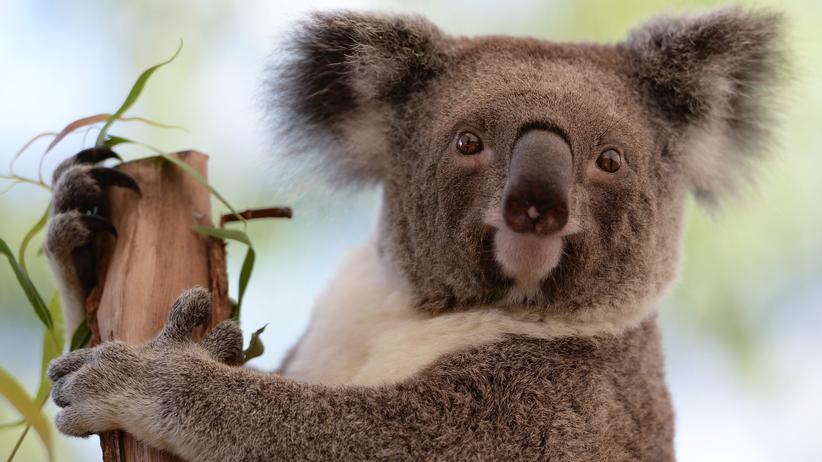 Koala Baum Hitze