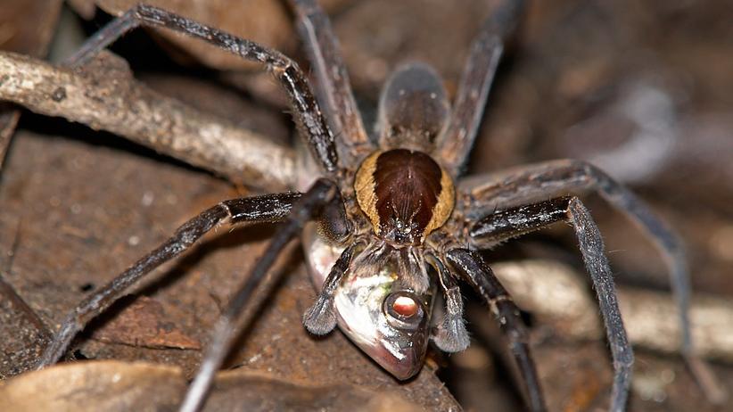 Zoologie: Spinnen fischen, und zwar ohne Netz