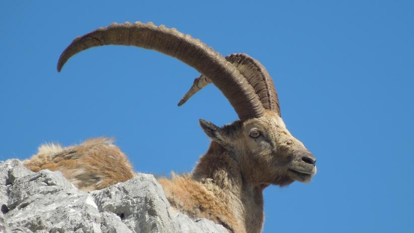 Steinbock: Dem Chauvi der Alpen nützt der Klimawandel