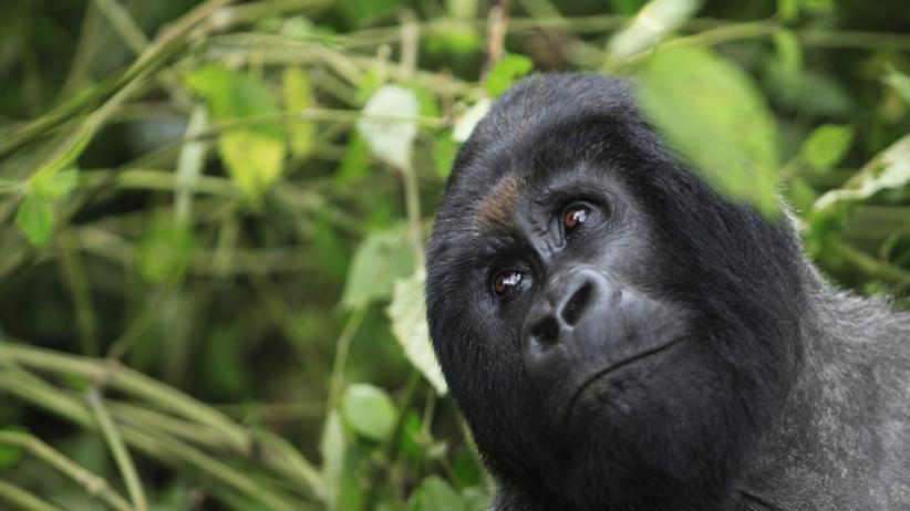 Virunga-Nationalpark: Keine Ölförderung im Wald der Berggorillas