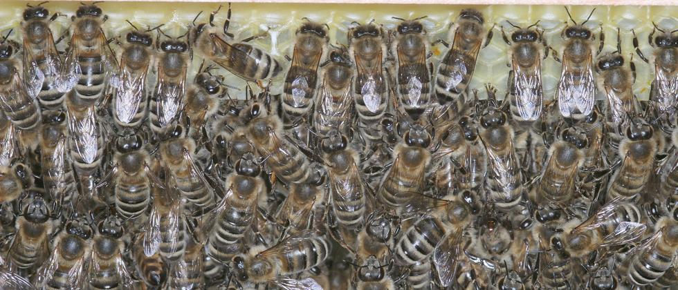 BIenen Honigbienen Schlaf Insekten