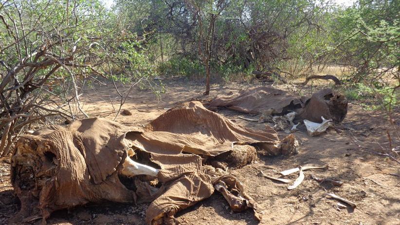"""Wilderei: Die Überreste des Elefanten """"Resilience"""", der im Samburu-Nationalpark in Kenia von Wilderern erschossen wurde."""