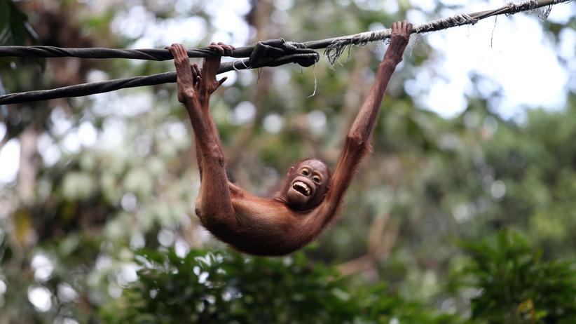 Chronobiologie: Im Sepilok Orang Utan Sanctuary auf Borneo lernen verwaiste Jungtiere, wieder in freier Wildbahn zu überleben.