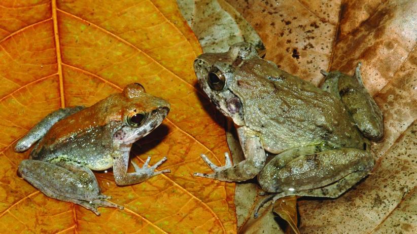 Frosch Sulawesi Kaulquappe Lebendgeburt Indonesien Kaulquappe Laichen