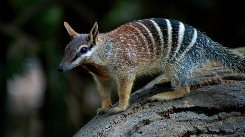 """Fast ausgestorben, dann gerettet: Der Ameisenbeutler (""""Myrmecobius fasciatus"""") ist eine von vielen gefährdeten Arten in Australien."""