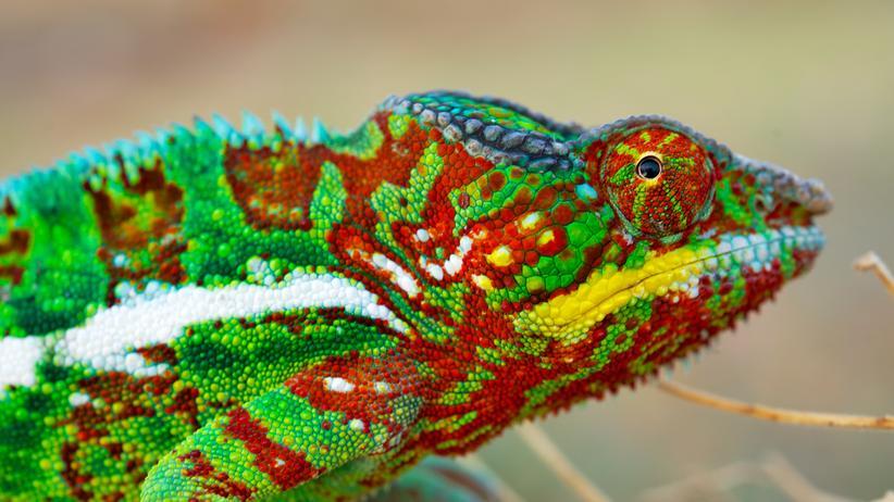Chamäleon Farbe Nano Schuppe Madagaskar