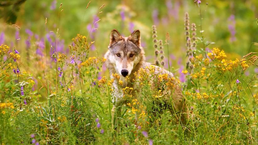 Jagd: In Deutschland werden regelmäßig Wölfe illegal geschossen oder absichtlich überfahren.