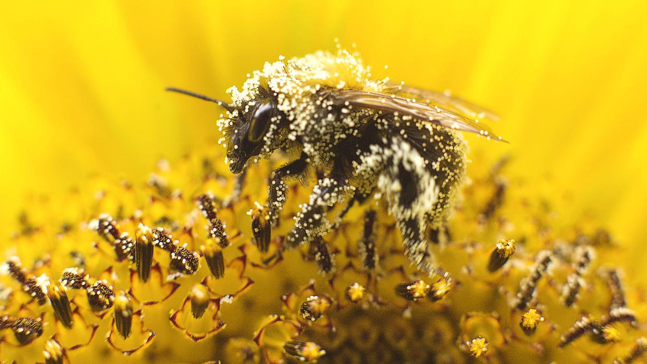 Insekten: Pestizide Wirken Auf Bienen Wie Nikotin Auf